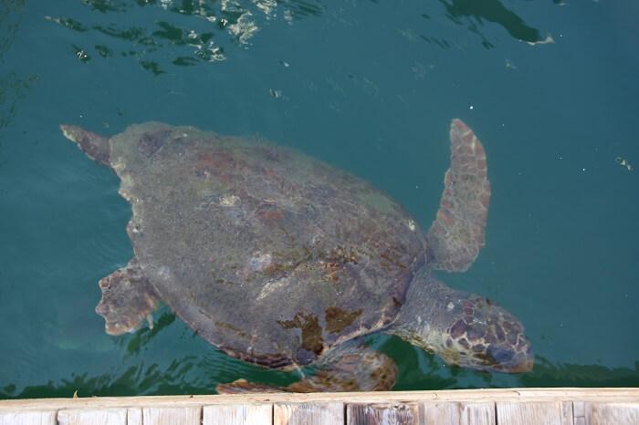 skildpadde-tyrkiet